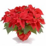 Red Poinsettia with Red Foil Pot Cover